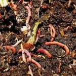 vermicompost_production