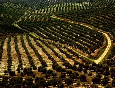olivefarmtunisia