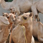 Animal Welfare: Guiding Principles in Islam
