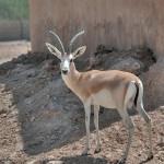 qatar-wildlife