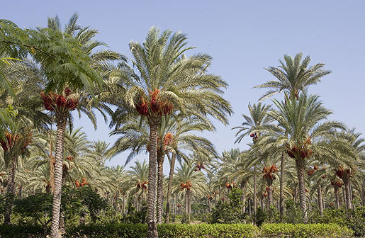 date-palm-biomass