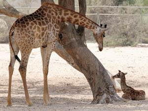 giraffe-bahrain