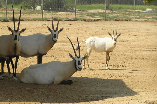 Al-Areen Wildlife Park in the only protected area on land in Bahrain, and is spread over 400 hectares