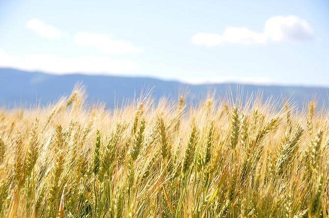 wheat-lebanon