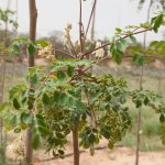 للتأقلم مع موجات الجفاف مزارعون تونسيون يلجؤون إلى زراعة نباتات جديدة