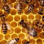 النحل والنظام البيئي
