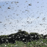 Desert Locusts Are Swarming With Greater Ferocity